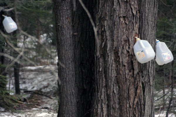 Maine Forest Rangers are investigating an illegal maple syrup operation in the Katahdin region as seen on Tuesday.