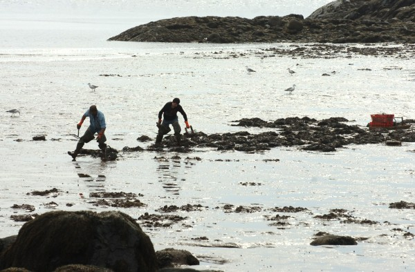 Clammers enjoy temperate weather as they work during low tide in Machiasport on the morning of May 7, 2011.