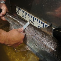 Lawsuit claims dams harm endangered salmon