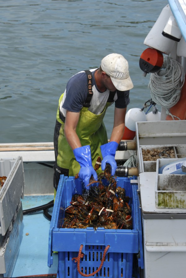 A young lobsterman places lobsters into a crate aboard a lobsterboat tied alongside the Stonington Fish Pier on August 4, 2012. A growing group of Maine lobstermen are looking to unionize in order to gain a voice in state legislation and get better access to other benefits such as health insurance.