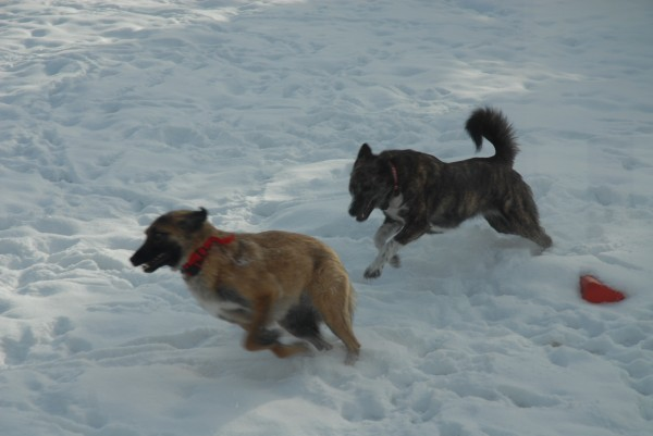 Afghan rescue dogs Alphy (left) and Bear romp in the snow outside of Anna Cannan's Fort Kent home.