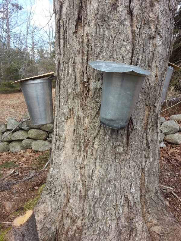 After I had taken this picture, I could see where over the many years taps had been inserted into the tree.