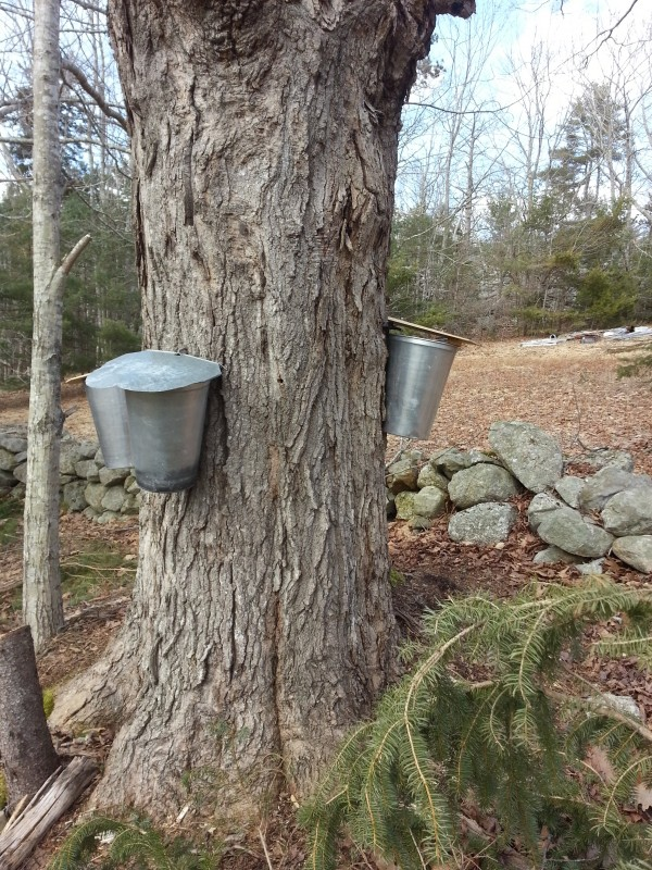 What is in this picture? An old maple tree, two traditional looking sap buckets, and an old field stone fence.