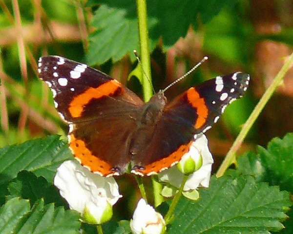 Red Admiral by Larry Meade