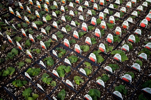 Begonias get started at the Frugal Farmers greenhouse in Buxton Wednesday.