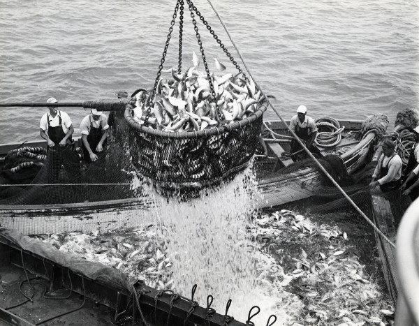 From its genesis in New England during the 1800s, the purse seine fishery for menhaden expanded south and by the early 1900s ranged the length of the eastern seaboard. By the late 1940s landings from the fishery comprised 35 to 40% of the total U. S. fisheries landings, ranking menhaden first in total volume. Crews from the deep south sang chanties as they hauled the nets. (Photo from the National Fisherman collection of the Penobscot Marine Museum.)