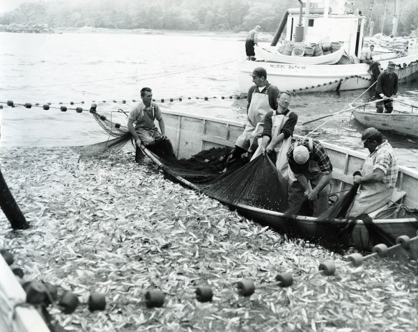 This crew from New Harbor, Maine pursed 60,000 bushels of sardines at Greenland Cove only a few miles from their homeport. The carrier in the background is the Muriel built in 1918 at Goudy and Stevens in East Boothbay. (Photo from the National Fisherman collection of the Penobscot Marine Museum.)