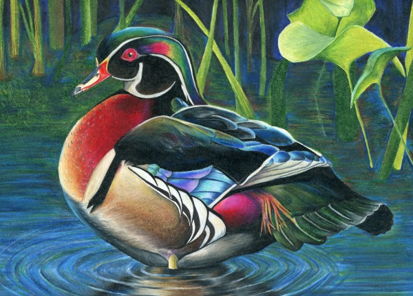 This is the Wood Duck that won Best of Show for the Maine Federal Junior Duck Stamp Contest.