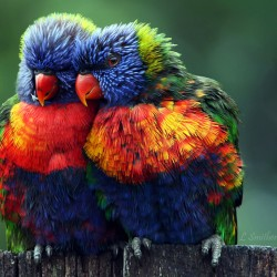 Rainbow Lorikeet, posted on Project Noah's website by Leslie Smitheringdale, Logan City, Queensland, Australia