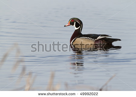 Wood Duck in the spring