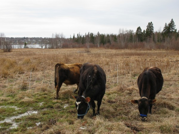 Three cattle graze in pasture at Bagaduce Farm in Brooksville, Maine, on Thursday.