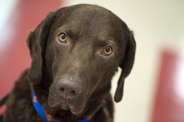 Lewis, a Cheseape Bay retriever trained as a therapy dog, is calm at the Kennedy Krieger Institute in Baltimore, according to his owner, Amy Wernecke, although &quothe's crazy at home sometimes.&quot