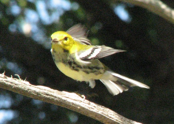 A black-throated green warbler in flight.