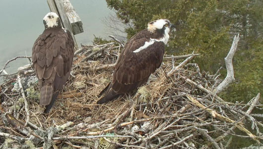 Osprey mated pair Steve and Rachel sit atop their nest on Hog Island in Muscongus Bay.