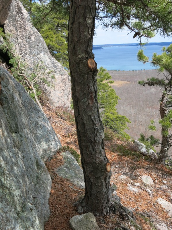 Rangers with Acadia National Park are hoping to find out who recently cut trees and limbs at the South Wall climbing area on Champlain Mountain. Cutting trees or making other changes to the landscape in the park without authorization is against federal law.