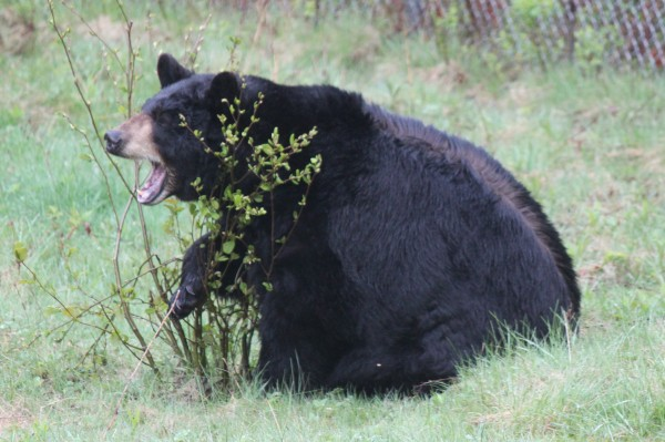 A black bear scratches his neck on a plant in his enclosure in the Maine Wildlife Park in Gray, Maine, on May 4, 2012.  BDN File Photo by Aislinn Sarnacki