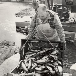 The St. Croix River should be opened to alewives