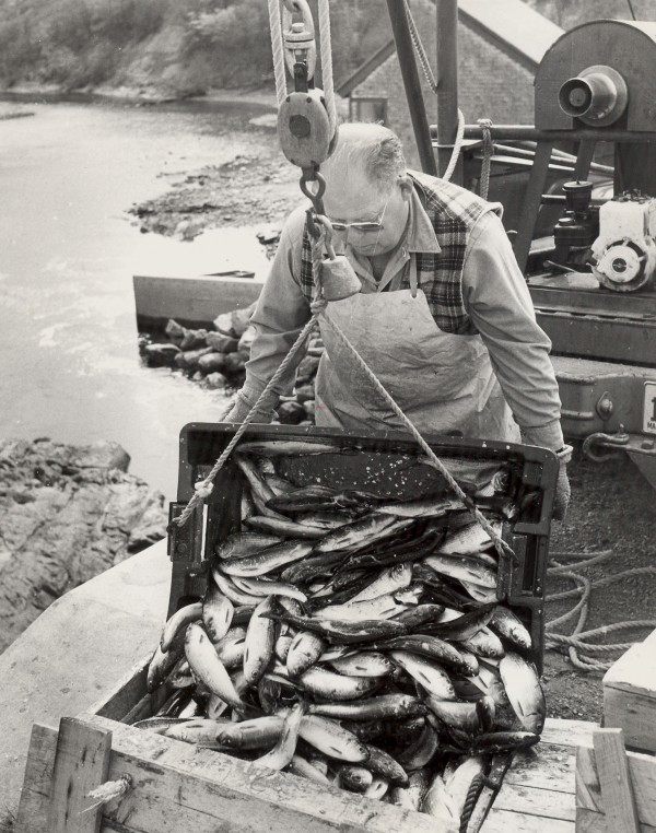 Fishing agent Jim Bennett boxes up the frisky alewives dipped from the Souadabscook Stream in Hampden.