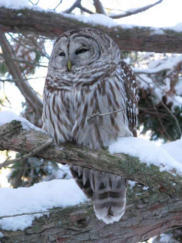 A barred owl perches on a snowy branch.
