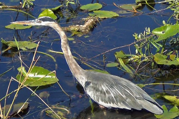 Great blue herons are the tallest birds in Maine and the largest herons in the New World.