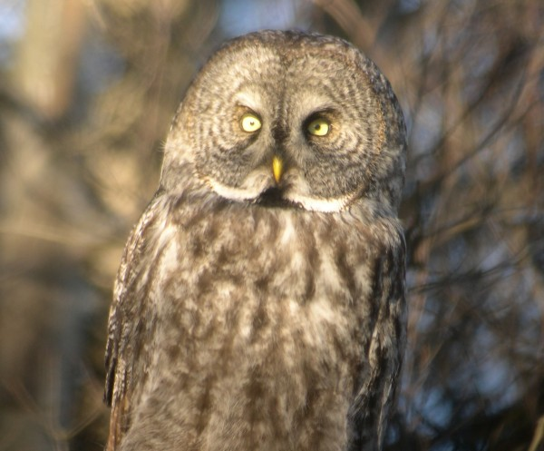 This great gray owl became famous for a week in 2006 after birders spotted it along Stud Mill Road. Many birders mistakenly think they've seen a great gray owl when they're actually seeing a barred owl.
