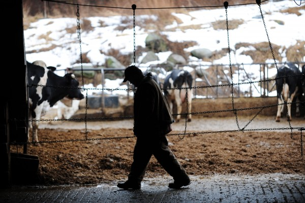 Rusty Howard makes his way through one of three cow barns on the Tween-Hills Farm in Orrington recently while on his way to the milking parlor.