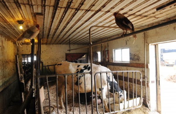 A Holstein cow in the maternity ward of the Tween-Hills Farm in Orrington is kept company by chickens perched on pipe rails on Wednesday.