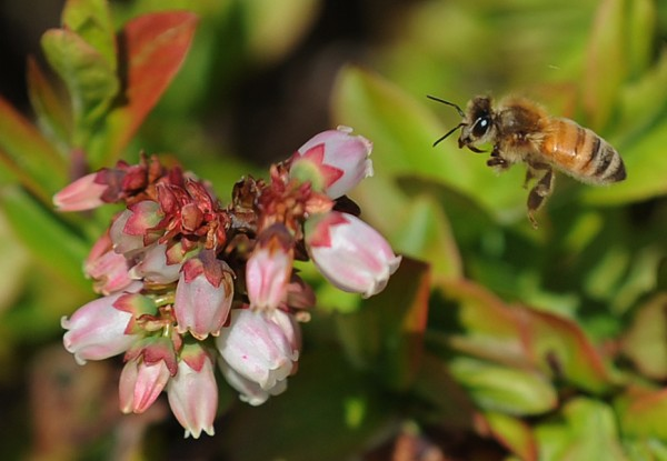 A honey bee pollinates blueberry blossoms in the Wyman blueberry fields in Deblois on Thursday, May 21, 2009.