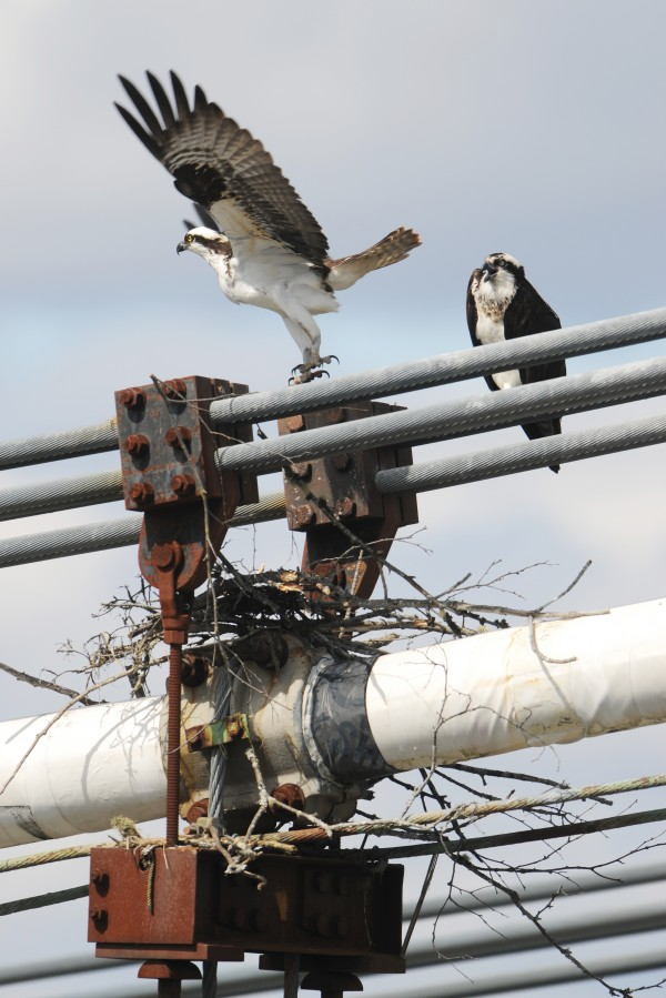 An osprey takes flight after dropping sticks on a nest being built on the Waldo-Hancock Bridge between Verona Island and Prospect on Monday. The pair of birds seem oblivious to the work crew using cutting torches to dismantle the other side of the bridge
