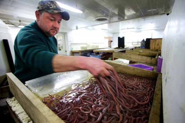 Worm digger Dale KImball of Dresden counts and sorts his daily take of bloodworms Feb. 15 at Phil Harrington Bait in Woolwich.