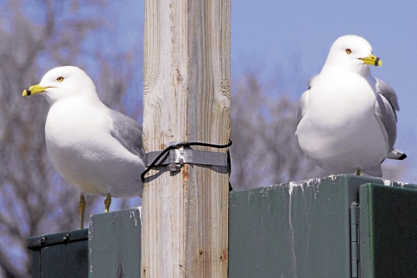 """Two self-appointed guardians of Bangor Waterfront Park watch for any infraction of the """"dropped food law"""" as they stand watch on a sunny Friday. The gulls maintain one policy: &quotYou drop it, we own it.&quot"""