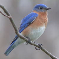 Biologist Lynn Havsall, a Downeast Audubon board member and long-time naturalist, will give a slide presentation and talk about bluebirds at Woodlawn, Thursday, May 23, from 6:30-7:30 pm.  The presentation is free but donations are appreciated.  Wear proper footwear for walking in the meadow.  Call Woodlawn at 667-8671 to reserve a seat.