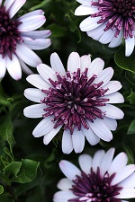 Osteospermum '3D Berry White' has double flowers that stay open all day and night.
