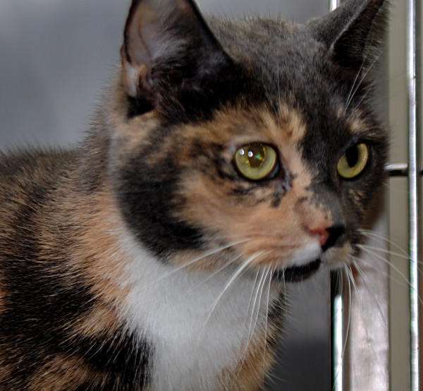 Ms Rebecca, a lovely older cat who is available for sponsorship and adoption, came to PAWS when her elder guardian could no longer care for her.  After many years as an only cat in her home, Ms Rebecca is enrolled in PAWS' Single & Loving It! adoption program.