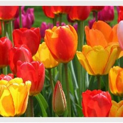 Over 1,000 new tulip bulbs planted last fall!