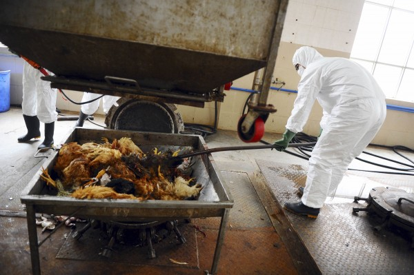 Employees dispose uninfected dead birds at a treatment plant as part of preventive measures against the H7N9 bird flu in Guangzhou, Guangdong province, April 16, 2013. The plant steams and liquefies the dead animals at 150 degrees Celsius, as part of an aseptic disposal process.