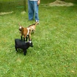 Dwarf goat video from Houlton farm goes viral, aired on 'Today'