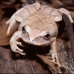 Join FrogWatchUSA at Schoodic to help count spring peepers and other frogs.