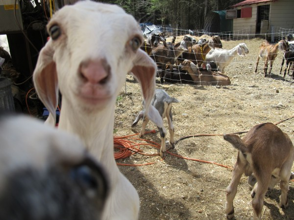 A baby goat peers at a camera at Olde Oak Farm in Maxfield.