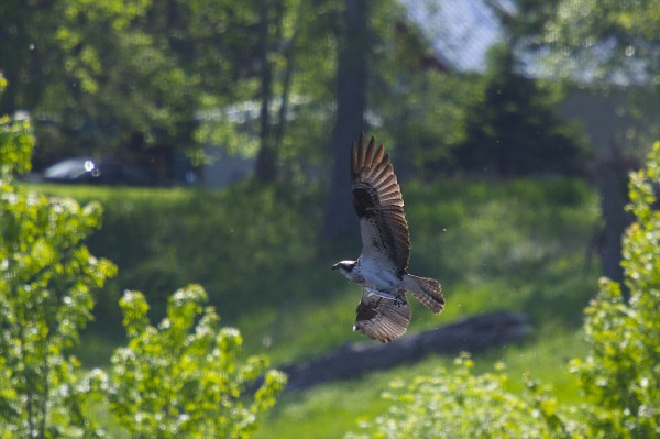 Ospreys catch fish over the Sebasticook River near Brimstone Hill Road in Benton.