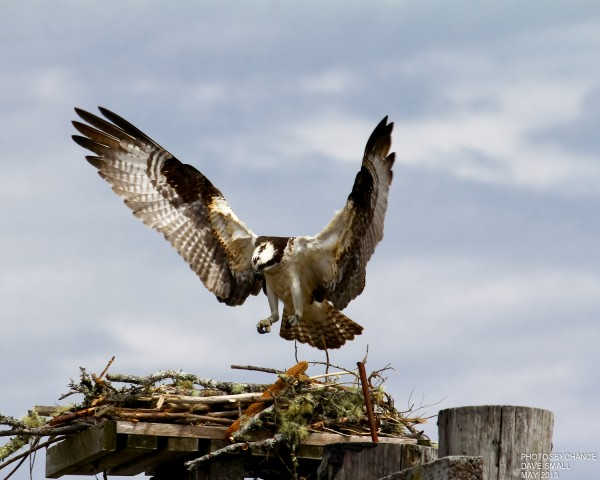An osprey does a little nest-building near Searsport recently.