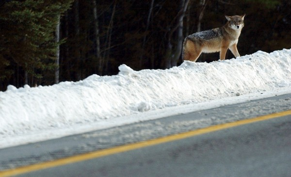 A coyote stands on top of a snowbank waiting for a safe time to cross the southbound lanes of Interstate 95 near the Lincoln exit in December 2005.