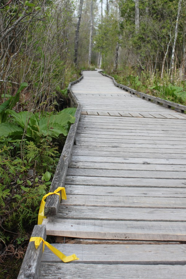 Yellow tape placed by a volunteer maintenance crew marks a place that needs repair on the Orono Bog Boardwalk on May 14, 2013. The hemlock wood boardwalk is slowly being destroyed by fungus and carpenter ants.