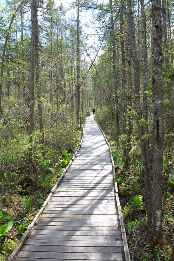 A visitor walks along the Orono Bog Boardwalk, surrounded by skunk cabbage and ferns at the edge of Orono Bog on May 14, 2013.