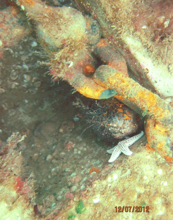 Sea life including a starfish and sea cucumber have made the Habitat Mooring System their home as it sits on the bottom of Seal Harbor in December 2012.