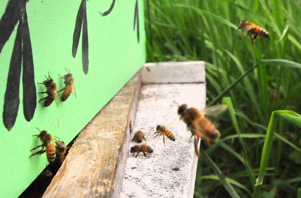 Colony Collapse Disorder is still affecting a very large number of bees in Maine. Thousands of hives are trucked to the state each year since 2006 to help the proper pollination of fruit crop in Maine.