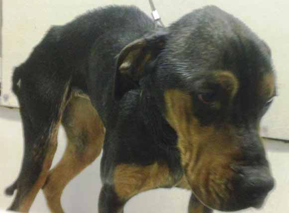 Thelma, one of two severely neglected Rottweiler mixes found abandoned in Caribou, is now recovering with her sister, Louise, from starvation and skin infections at the Central Aroostook Humane Society in Presque Isle.