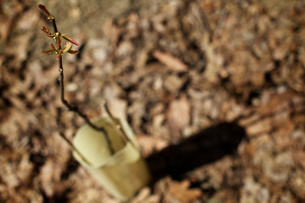 A tiny American chestnut tree sprouts leaves at its new home in Portland's Baxter Woods Tuesday.
