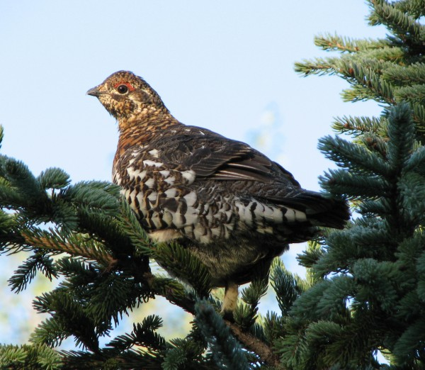 Spruce grouse often appear to be tame and will tolerate close human approaches.