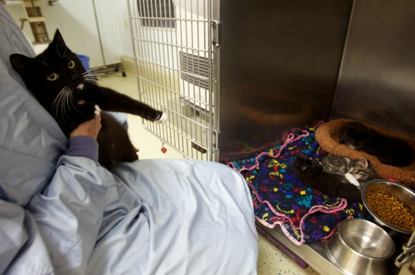 Lisa Smith of the Coastal Humane Society in Brunswick holds a mother cat while her kittens play and snooze Friday. The cat was found, along with two other adult cats and ten kittens, duct taped inside a plastic box on Gay Drive in Freeport late Wednesday.